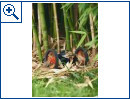 Parrot Minidrohnen