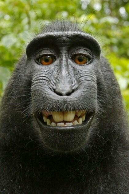 """Affen-Selfie """"von"""" David Slater"""