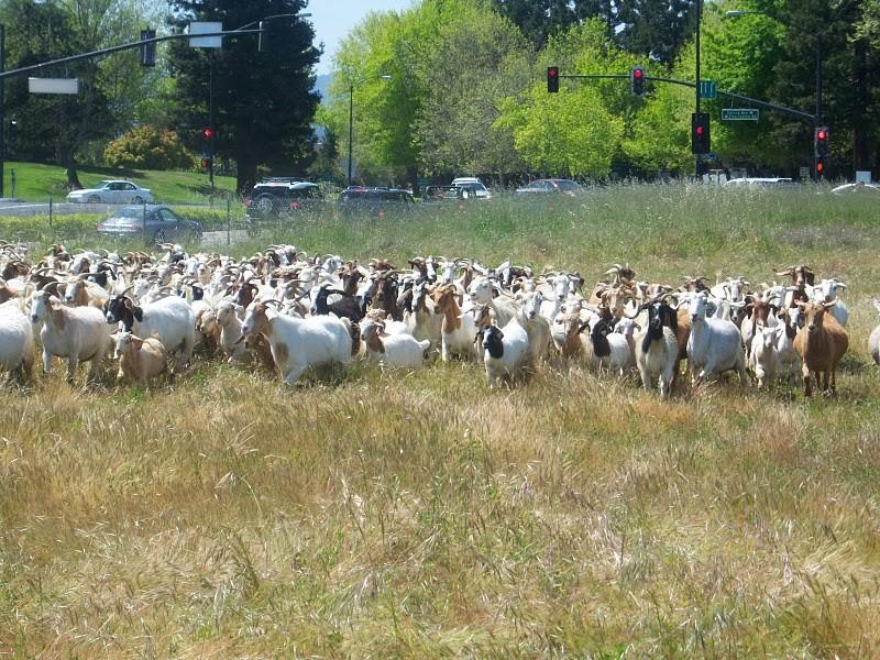 Rasenmahen Bei Google Die Ziegen Sind Zuruck Winfuture De